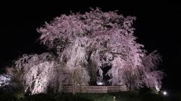 2020-nig-sakura-maruyamapark1.jpg