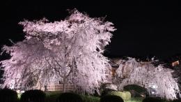 2020-nig-sakura-maruyamapark2.jpg
