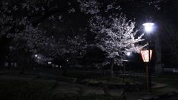 2020-nig-sakura-maruyamapark3.jpg
