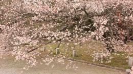 2020-sakura-kyotogyoeni10.jpg