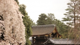 2020-sakura-kyotogyoeni1.jpg