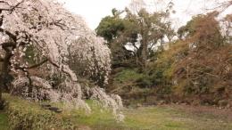 2020-sakura-kyotogyoeni2.jpg