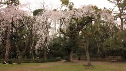 2020-sakura-kyotogyoeni5.jpg
