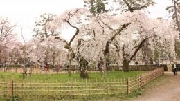 2020-sakura-kyotogyoeni6.jpg