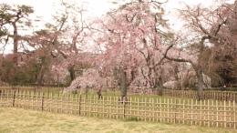 2020-sakura-kyotogyoeni9.jpg