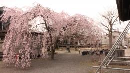 2020-sakura-ritsuhonji1.jpg