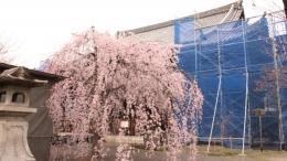 2020-sakura-ritsuhonji2.jpg