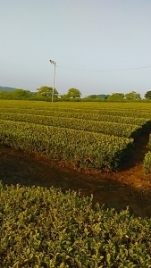 200502 茶畑