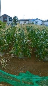 200618 トウモロコシ