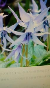 201014 かたくりの花