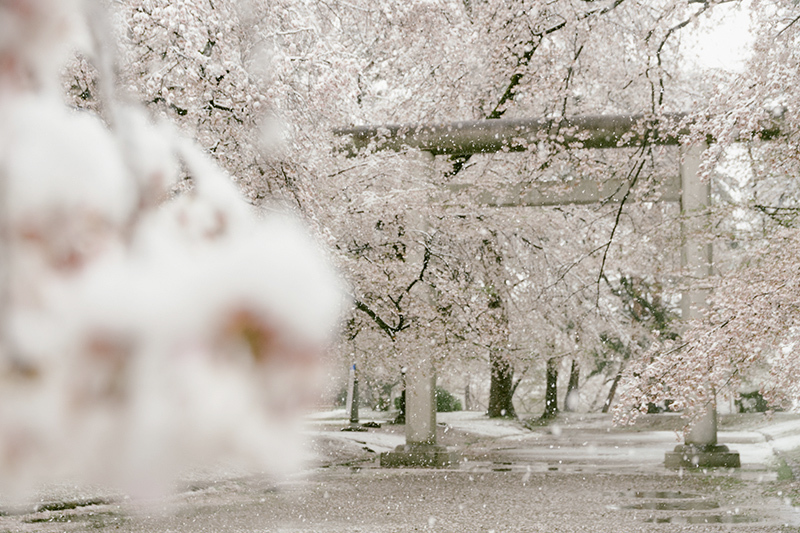 20200329-snow-sakura-1.jpg