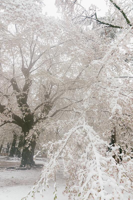 20200329-snow-sakura-14.jpg
