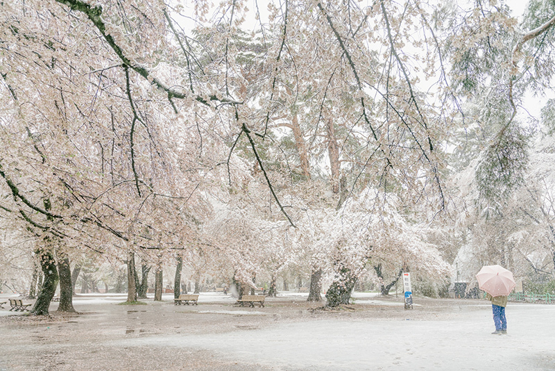 20200329-snow-sakura-15.jpg