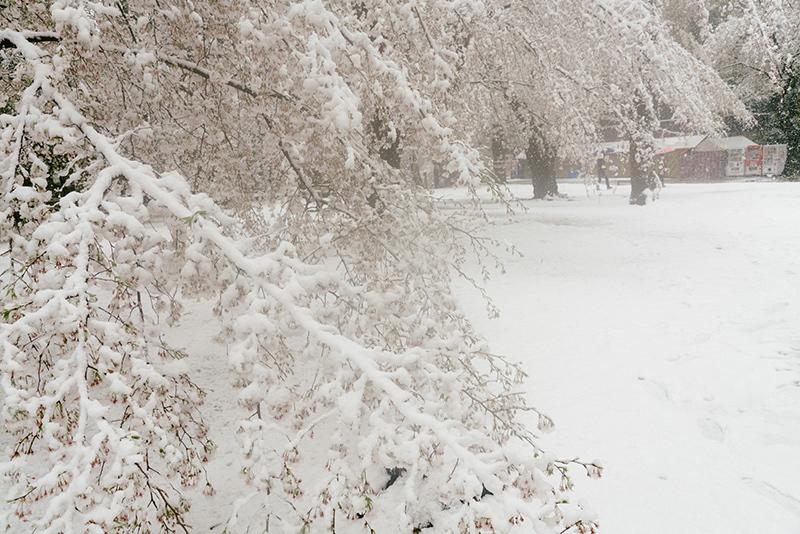 20200329-snow-sakura-4.jpg