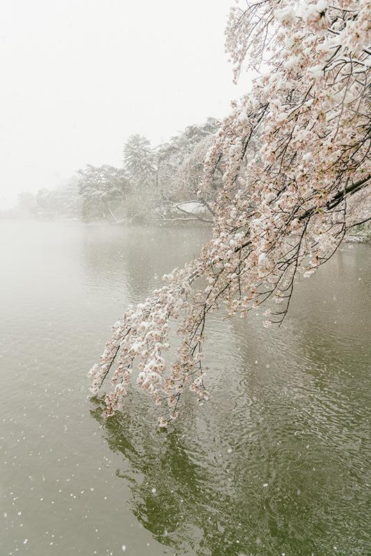 20200329-snow-sakura-5.jpg