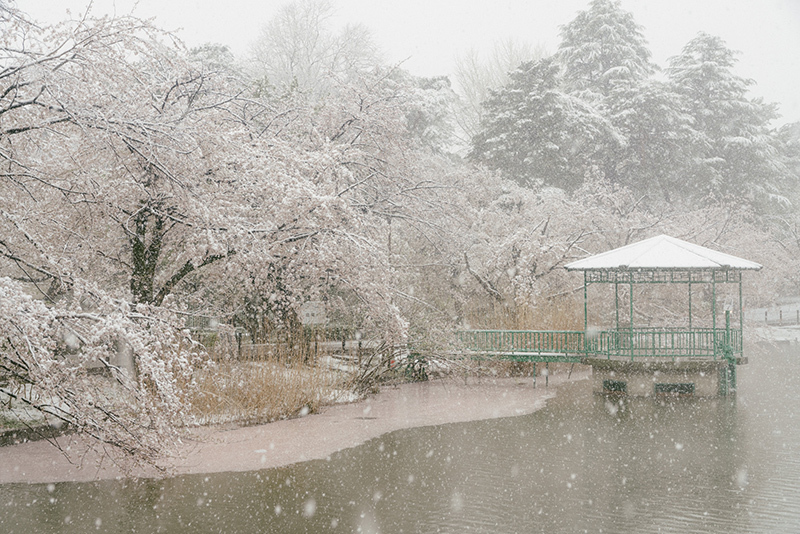 20200329-snow-sakura-6.jpg