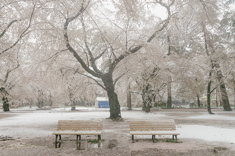 20200329-snow-sakura-8.jpg