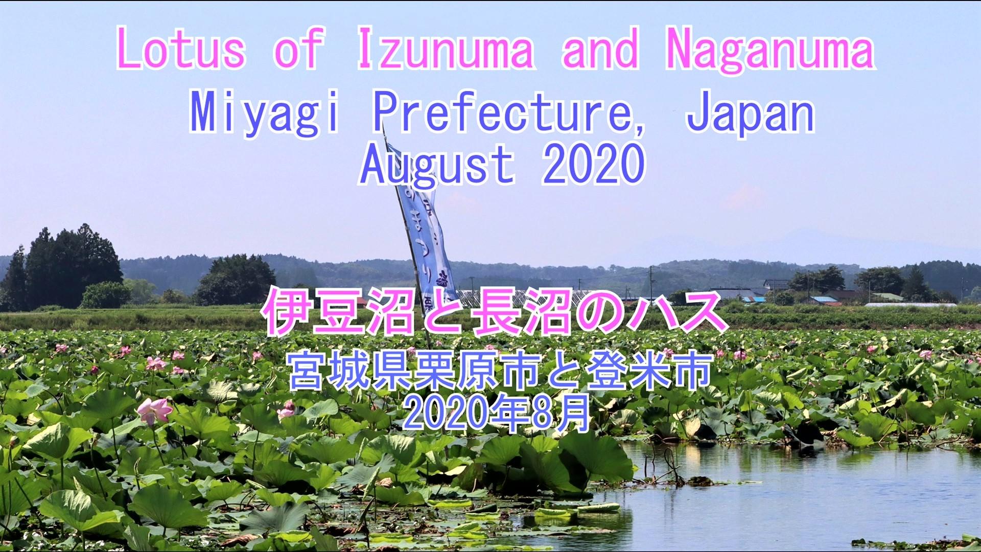 伊豆沼と長沼のハス 2020年