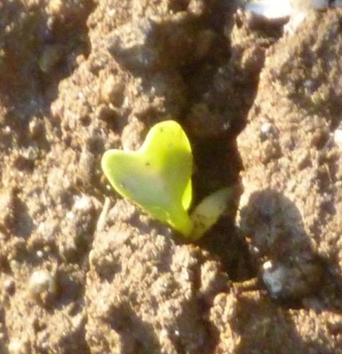 一本目の大根の芽