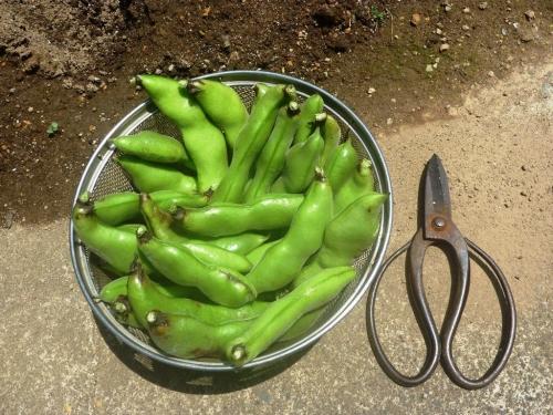 さつき豆 一回目の収穫