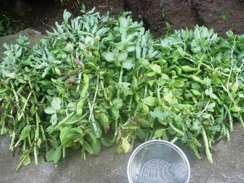 実を白湯する前のさつき豆