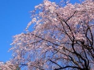 六義園の枝垂桜 見ごろ 2020年3月19日ごろ