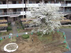 4/5 ベランダ側の桜