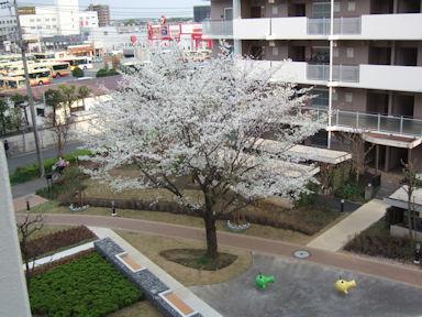 4/2 ベランダ下の桜満開