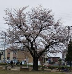 3/28  裏の公園の桜8分咲き