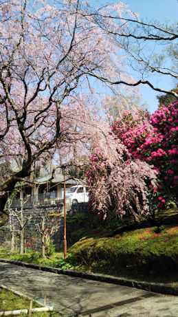 3/27 荒井城址公園の枝垂桜とシャクナゲ
