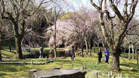 3/27 荒井城址公園の枝垂桜