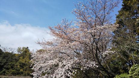 3/27荒井城址公園のソメイヨシノ