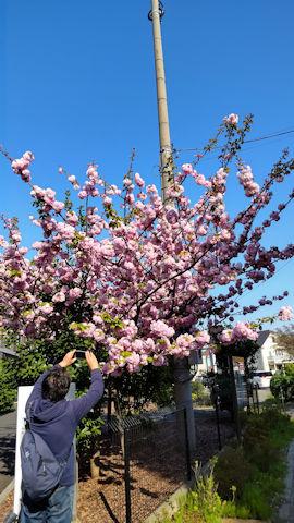 4/10 八重桜  桜の小径