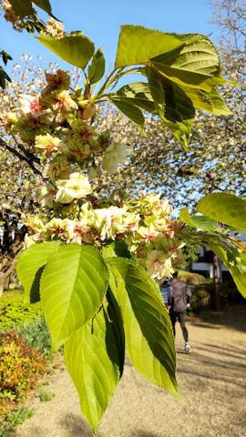 4/10 ウコン  桜の散歩道