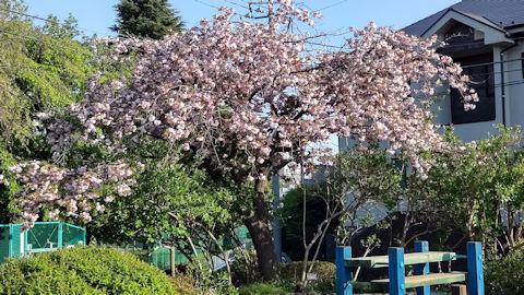 4/10 八重桜  桜の散歩道