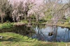 3/27 お弁当後また花見 池近くの枝垂桜