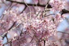 3/27 新井城址公園の枝垂桜アップ