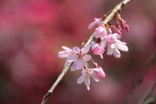 3/27 荒井城址公園の枝垂桜アップ