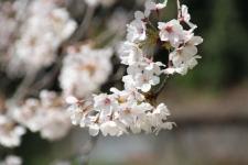 3/27 荒井城址公園のソメイヨシノ