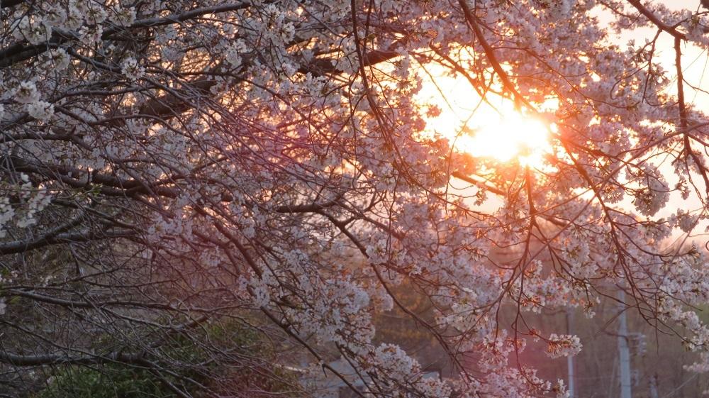 2桜と夕日IMG_6195