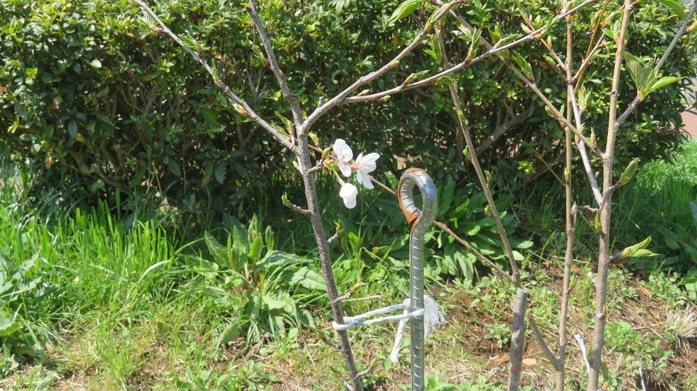 1植えた桜4年目IMG_6161