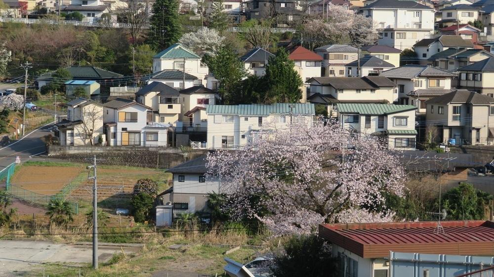 2会館の桜IMG_6205