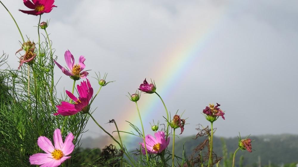 1虹とコスモスIMG_4741