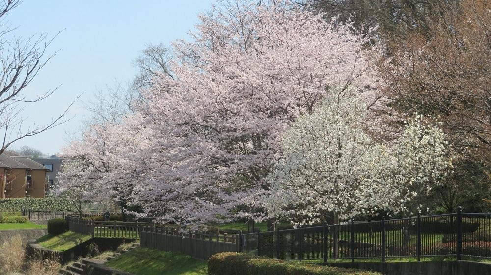 2対岸の桜IMG_7560