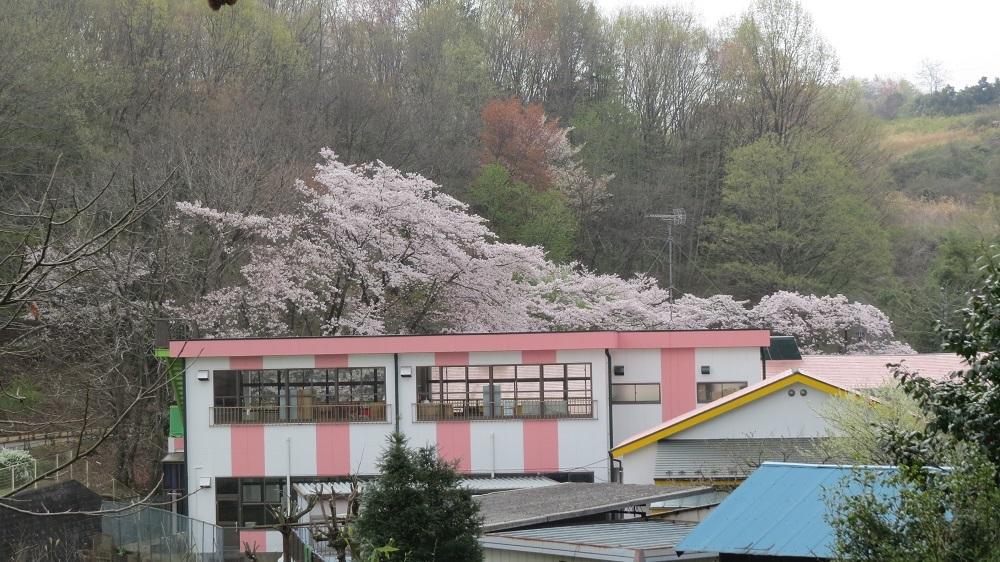 2幼稚園の桜IMG_6754