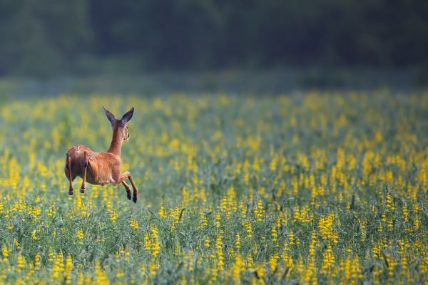 roe-deer-in-the-run-P67R3MJ.jpg