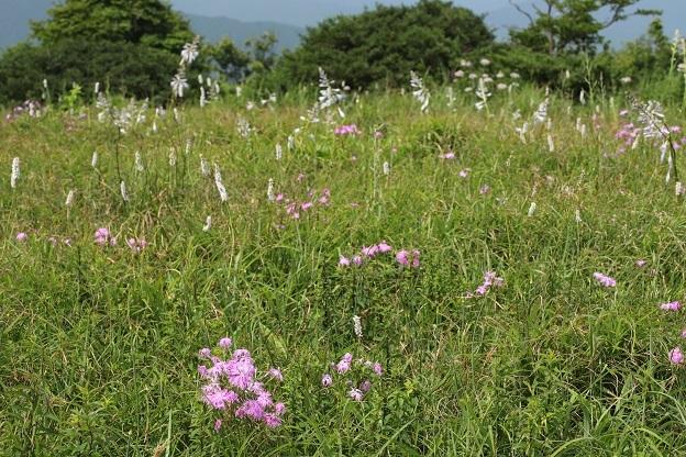 竜王山のお花畑
