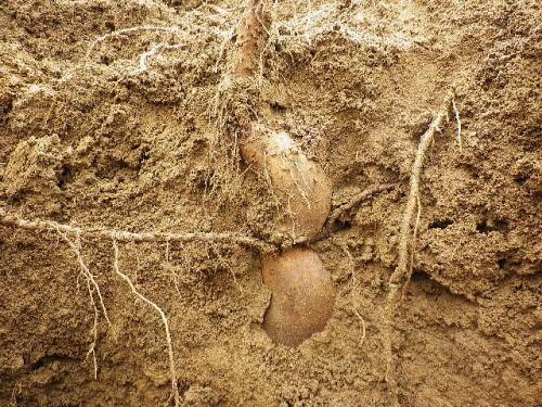 自然薯 2020 10 24-2