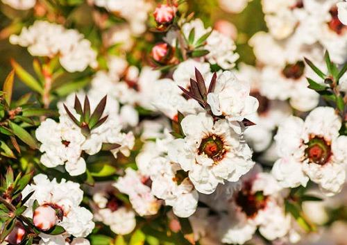 ギョリュウバイの花-3