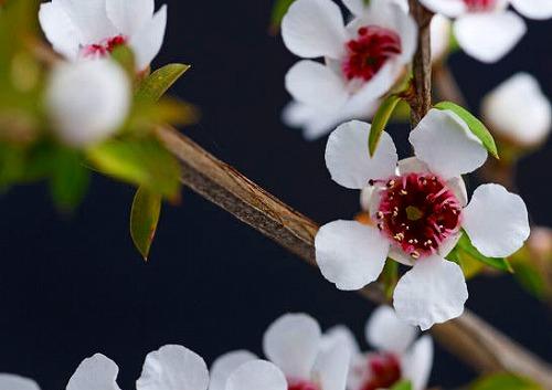 ギョリュウバイの花-5